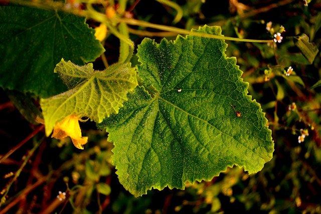 キュウリの葉が白い時の原因と対処法